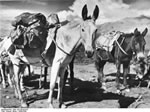 Bundesarchiv Bild 135-KB-04-070, Tibetexpedition, Beladene Lasttiere