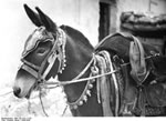 Bundesarchiv Bild 135-S-01-17-03, Tibetexpedition, Postmaultier