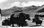 Bundesarchiv Bild 135-S-06-15-19, Tibetexpedition, Jakkarawane