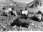 Bundesarchiv Bild 135-S-07-22-26, Tibetexpedition, Ziegen