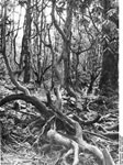 Bundesarchiv Bild 135-KA-02-081, Tibetexpedition, Wald