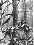 Bundesarchiv Bild 135-KA-02-072, Tibetexpedition, Wald