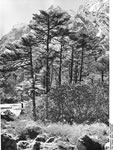 Bundesarchiv Bild 135-KA-05-071, Tibetexpedition, Wald