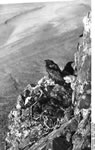 Bundesarchiv Bild 135-S-14-16-10, Tibetexpedition, Kolkrabe Neben Nest