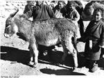 Bundesarchiv Bild 135-S-08-25-39, Tibetexpedition, Esel