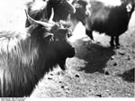 Bundesarchiv Bild 135-S-10-23-34, Tibetexpedition, Ziegen