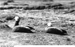 Bundesarchiv Bild 135-S-12-11-35, Tibetexpedition, Kasarkas
