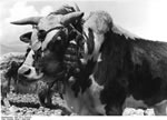 Bundesarchiv Bild 135-S-14-04-25, Tibetexpedition, Rind