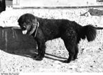 Bundesarchiv Bild 135-S-17-02-21, Tibetexpedition, Tibetischer Hund